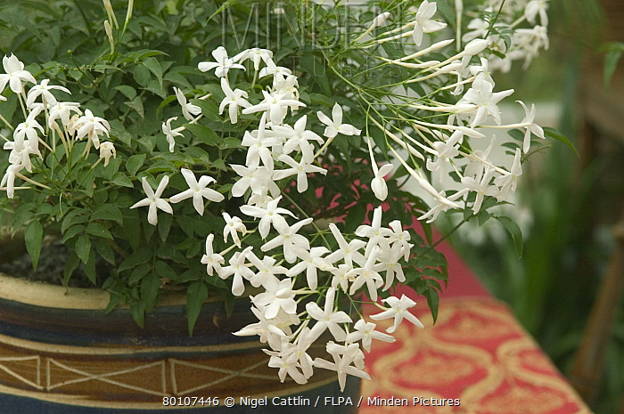 Minden pictures stock photos jasmine jasminum polyanthum white jasmine jasminum polyanthum white flowers on indoor sweet scented jasmine nigel cattlin mightylinksfo