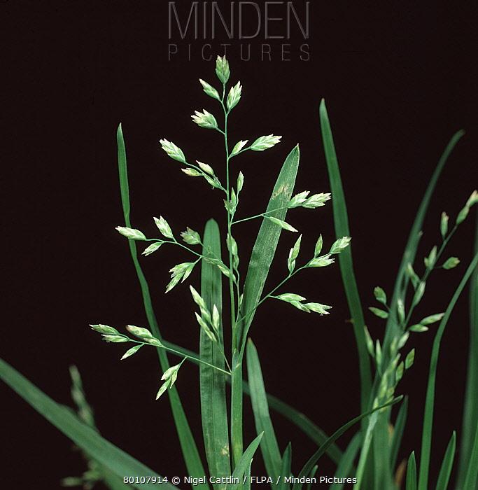 Annual meadow grass (Poa annua) flower  -  Nigel Cattlin/ FLPA
