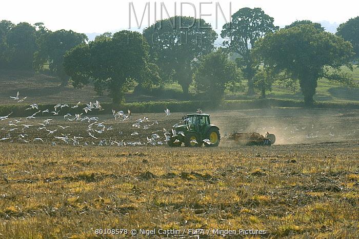 John Deere tractor power disc harrowing subsoiled stubble field with seagulls attending  -  Nigel Cattlin/ FLPA