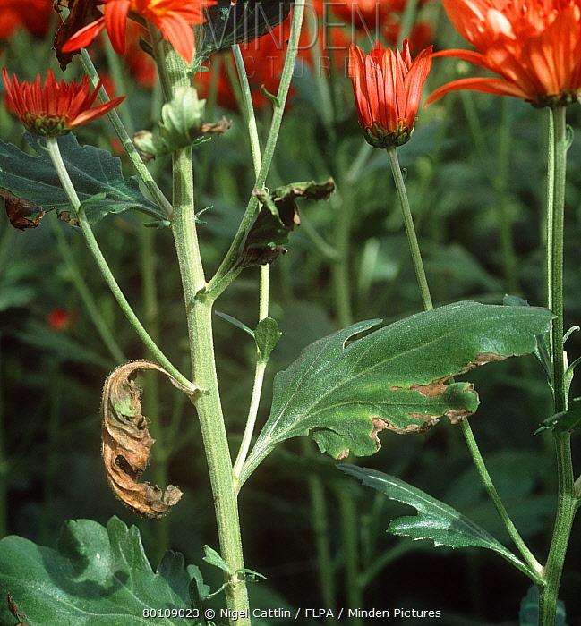 Verticillium wilt (Verticillium dahliae) causing wilt on Chrysanthemum leaf  -  Nigel Cattlin/ FLPA