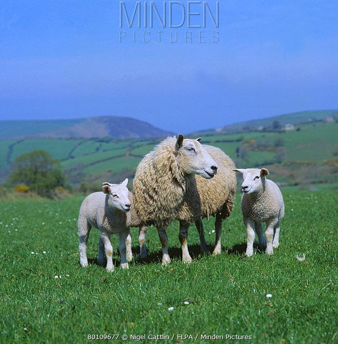 Horn Minden minden pictures stock photos exmoor mule ewe and three lambs