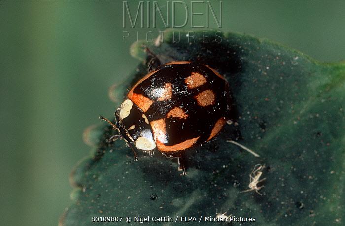 A colour variant of the two-spot ladybird (Adalia bipunctata)  -  Nigel Cattlin/ FLPA