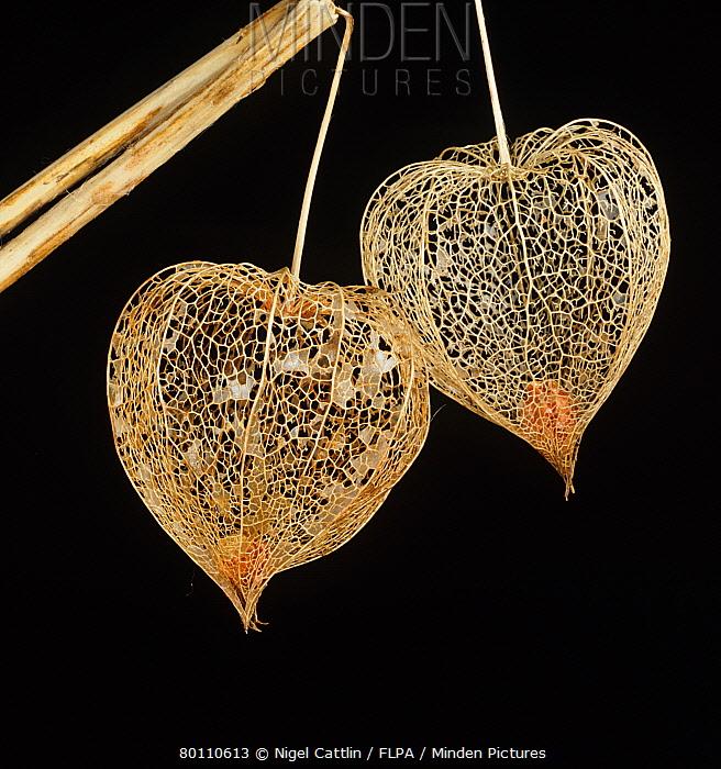 Chinese lantern (Physalis alkekengi) skeletonised lanterns and fruit  -  Nigel Cattlin/ FLPA