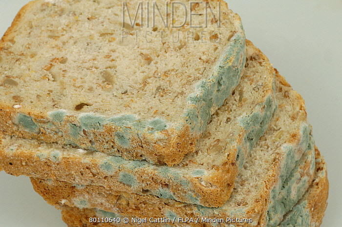 Minden Pictures stock photos - Blue mould (Penicillium sp ...