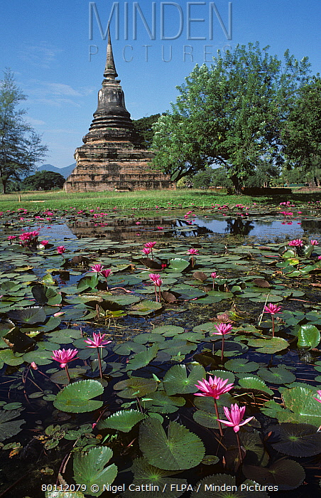 Pink flowered water lilies (Nymphaea sp) flowering in a moat with ancient temple, Thailand  -  Nigel Cattlin/ FLPA