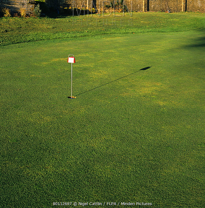 Yellow patch (Rhizoctonia cerealis) patches on golf putting green grass  -  Nigel Cattlin/ FLPA