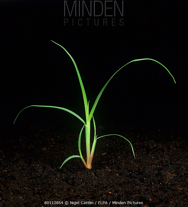 Broadleaf signalgrass (Brachiaria platyphylla) young plant beginning to tiller  -  Nigel Cattlin/ FLPA