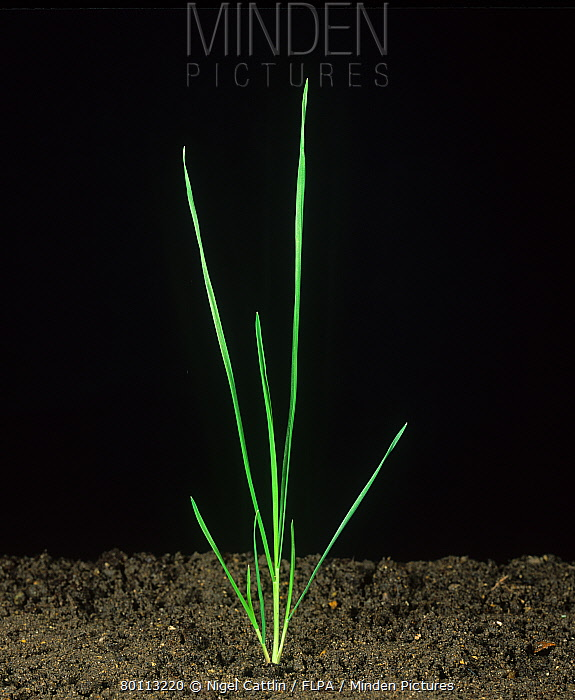Blackgrass (Alopecurus myosuroides) seedling with two young tillers  -  Nigel Cattlin/ FLPA