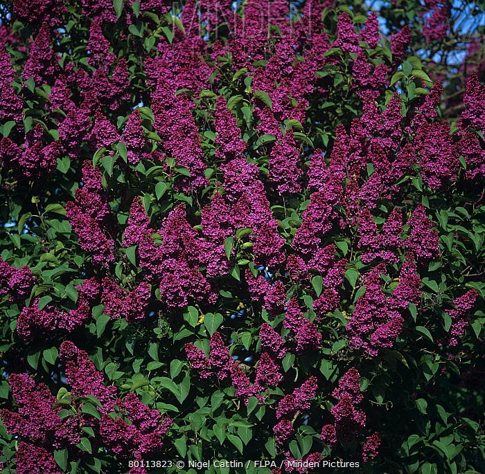 Lilac flowers, Syringa vulgaris 'Monge'  -  Nigel Cattlin/ FLPA