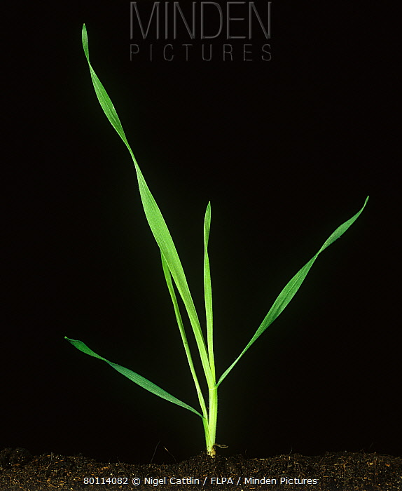 Drooping brome (Bromus tectorum) seedling grass stage one tiller  -  Nigel Cattlin/ FLPA