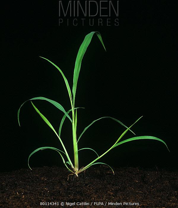 Guineagrass (Panicum maximum) young tillering grass weed plant  -  Nigel Cattlin/ FLPA