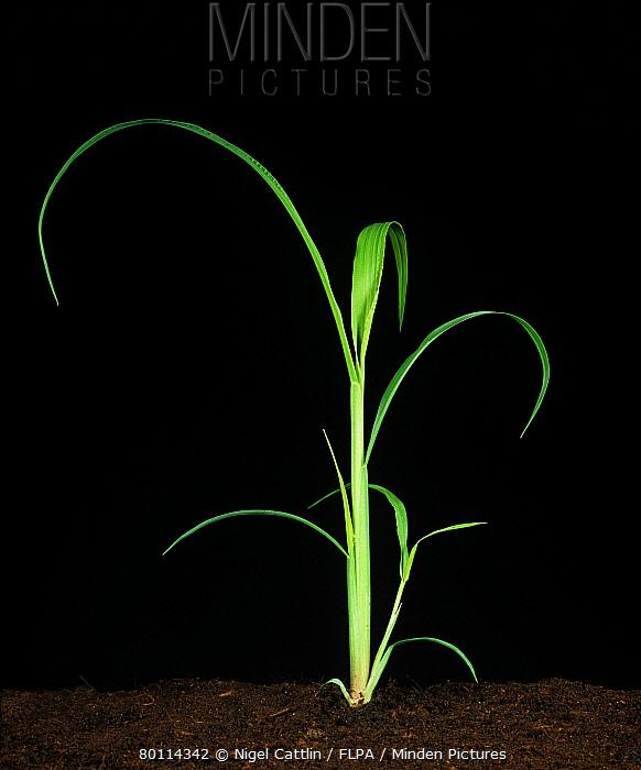 Awnless barnyard grass (Echinochloa colonum) young plant  -  Nigel Cattlin/ FLPA