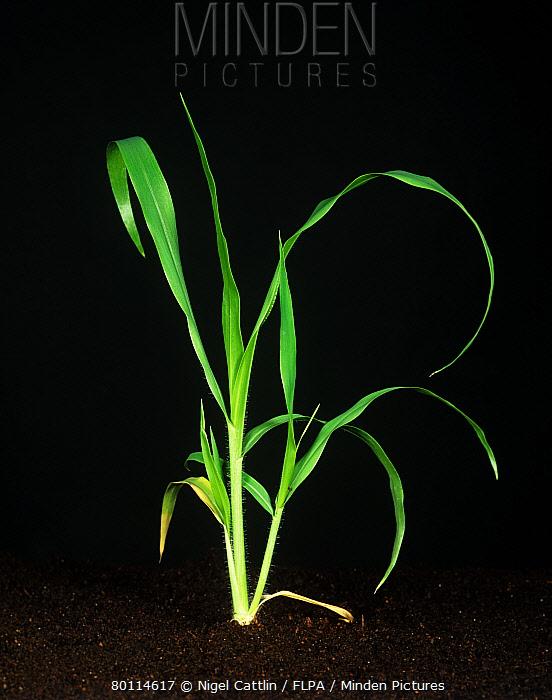 Witchgrass (Panicum capillare) bold young tillering plant  -  Nigel Cattlin/ FLPA