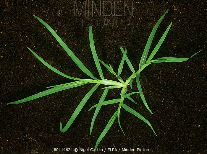 Crowsfoot grass (Eleusine indica) grass weed plant  -  Nigel Cattlin/ FLPA