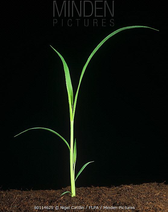 Giant foxtail (Setaria faberii) seedling grass weed  -  Nigel Cattlin/ FLPA