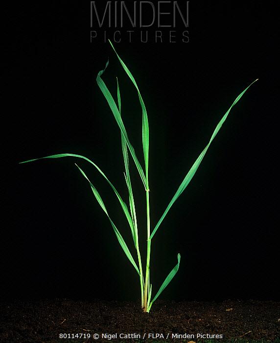 Specimen barley plant at stage against a studio black background  -  Nigel Cattlin/ FLPA