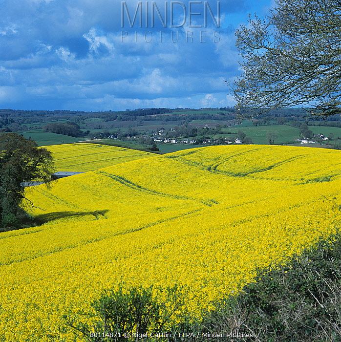 Crop of oilseed rape, canola, in full flower, Devon  -  Nigel Cattlin/ FLPA