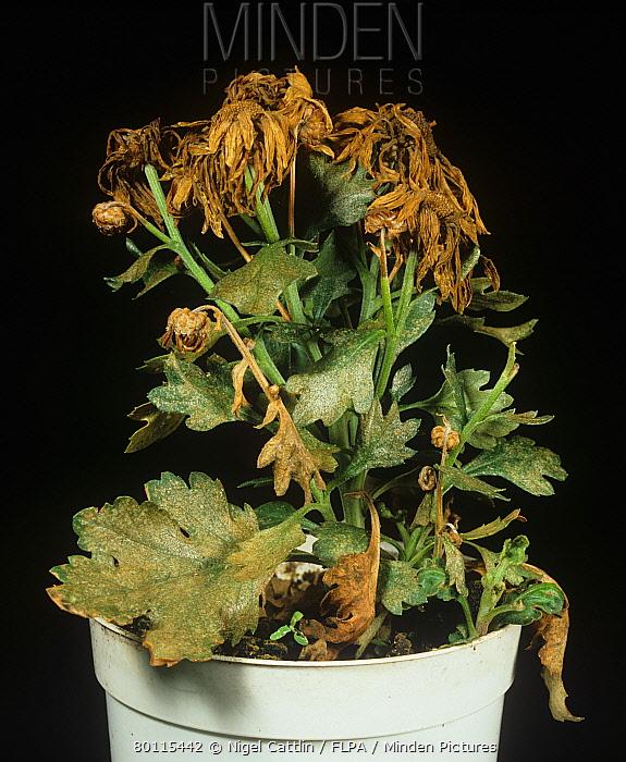 Western flower thrip (Franliniella occidentalis) feeding damage to a chrysanthemum plant  -  Nigel Cattlin/ FLPA