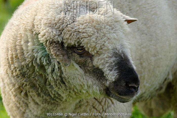 ugly charollais ram with a damaged ear devon nigel cattlin flpa