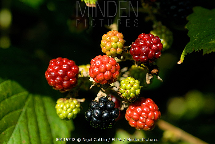 Small young blackberry (Rubus fruticosus) fruit in various stages of ripeness & colour  -  Nigel Cattlin/ FLPA