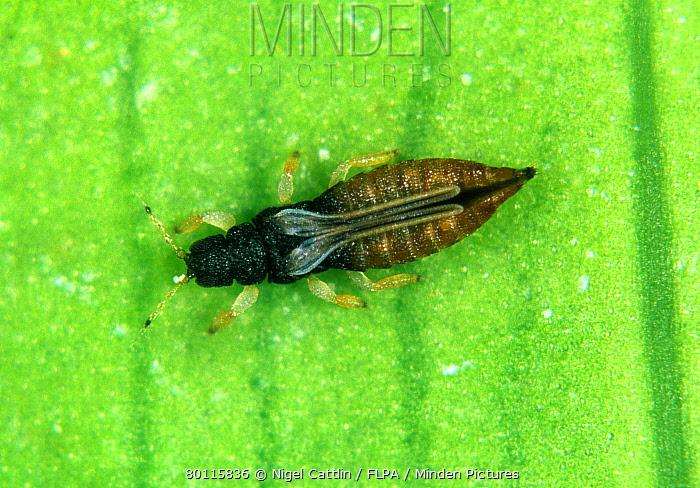 Black thrips (Echinothrips americanus) adult on a leaf  -  Nigel Cattlin/ FLPA