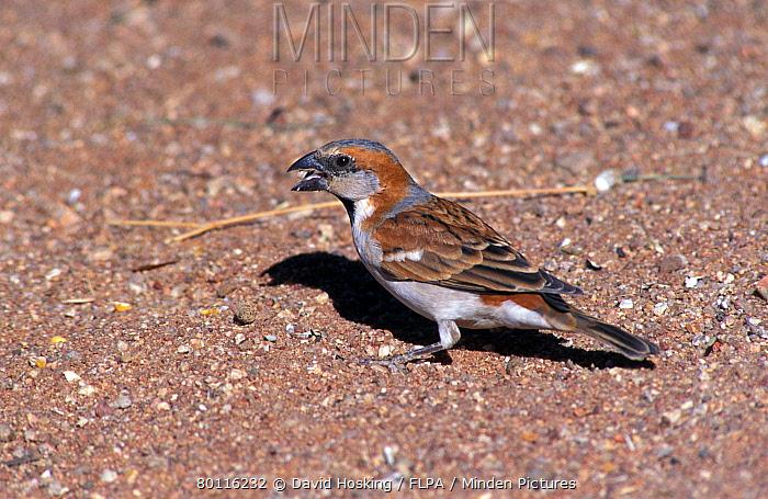 Great Sparrow (Passer motitensis) Male, Namibia  -  David Hosking/ FLPA