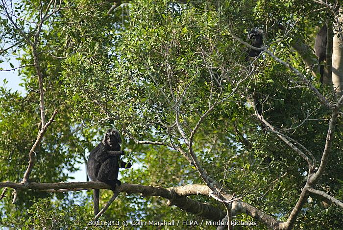 Javan Langur (Trachypithecus auratus) adults, feeding on leaves in tree, Sukamade, East Java, Indonesia  -  Colin Marshall/ FLPA