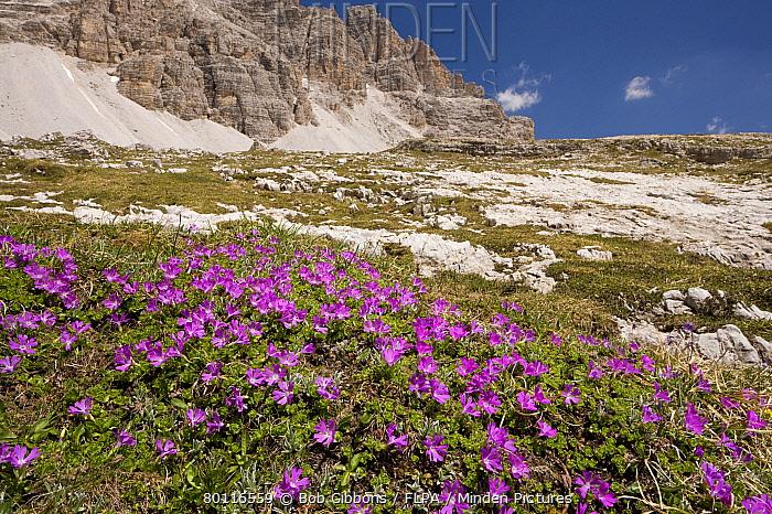 Least Primrose (Primula minima) flowering, mass growing in mountain habitat, Dolomites, Italy, june  -  Bob Gibbons/ FLPA
