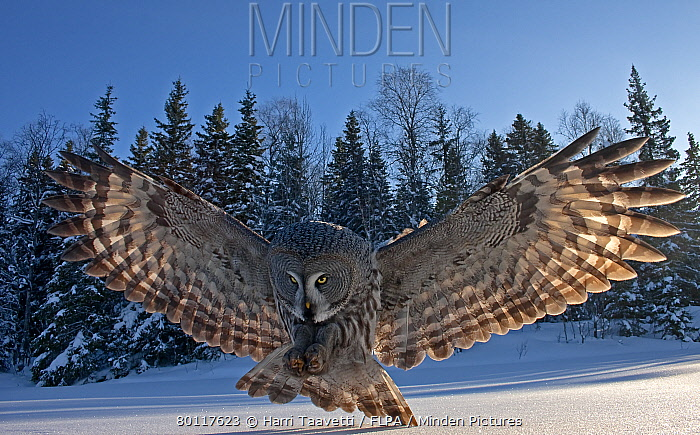Great Grey Owl (Strix nebulosa) adult, backlit, in flight, hunting over snow covered ground, Finland, march  -  Harri Taavetti/ FLPA