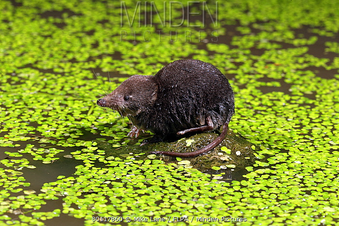 Eurasian Water Shrew (Neomys fodiens) adult, standing on rock in water, surrounded by duckweed, Warwickshire, England, july  -  Mike Lane/ FLPA
