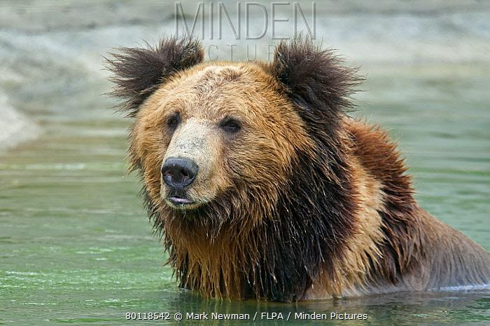 Tibetan Bear (Ursus arctos pruinosus) adult, close-up of head, in water, Animals Asia Rescue Centre, Chengdu, Sichuan, China, april  -  Mark Newman/ FLPA
