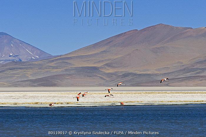 Chilean Flamingo (Phoenicopterus chilensis) flock, in flight, landing in saltlake habitat at m altitude, Laguna Santa Rosa, Parque Nacional Nevado Tres Cruces, Atacama Region, Chile  -  Krystyna Szulecka/ FLPA