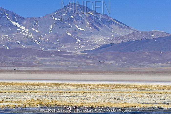 Puna Flamingo (Phoenicoparrus jamesi) and Chilean Flamingo (Phoenicopterus chilensis) mixed flock, in saltlake habitat at m altitude, Laguna Santa Rosa, Parque Nacional Nevado Tres Cruces, Atacama Region, Chile  -  Krystyna Szulecka/ FLPA