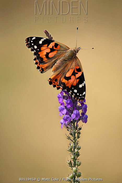 Painted Lady (Vanessa cardui) adult, resting on flowerhead, Leicestershire, England, july  -  Matthew Cole/ FLPA