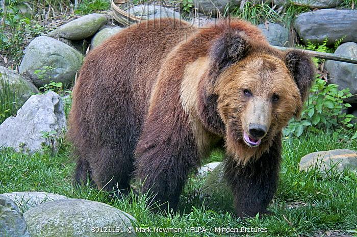 Tibetan Bear (Ursus arctos pruinosus) adult, standing, Animals Asia Rescue Centre, Chengdu, Sichuan, China, april  -  Mark Newman/ FLPA