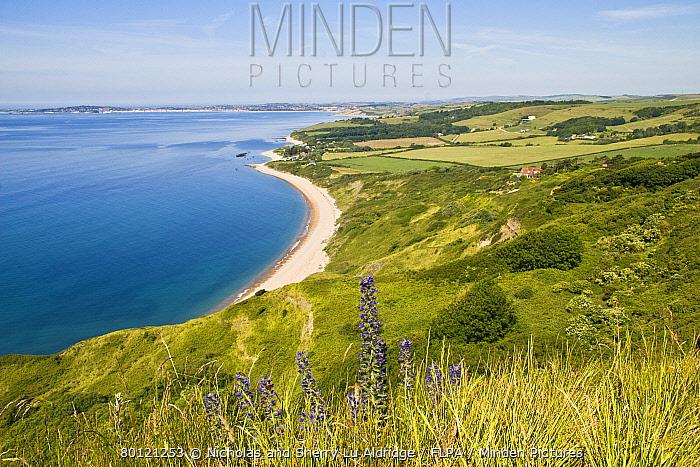 Viper's Bugloss (Echium vulgare) flowering, growing on coastal cliff habitat, Dorset, England, summer  -  Nicholas and Sherry Lu Aldridge/
