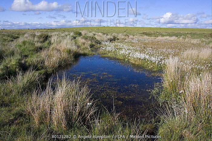 Common Cotton-grass (Eriophorum angustifolium) growing beside pool in bog habitat, Gower Peninsula, Glamorgan, Wales, june  -  Angela Hampton/ FLPA