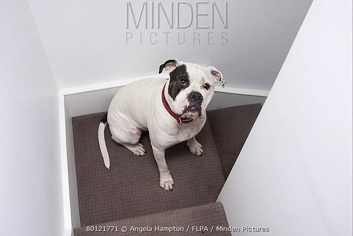 Domestic Dog, Old Tyme Bulldog, adult male, sitting on stairs in house, England  -  Angela Hampton/ FLPA