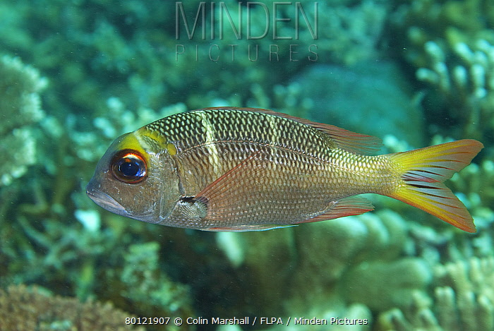 Humpnose Big-eye Bream (Monotaxis grandoculis) sub-adult, swimming over reef, Sipadan Island, Sabah, Borneo, Malaysia  -  Colin Marshall/ FLPA