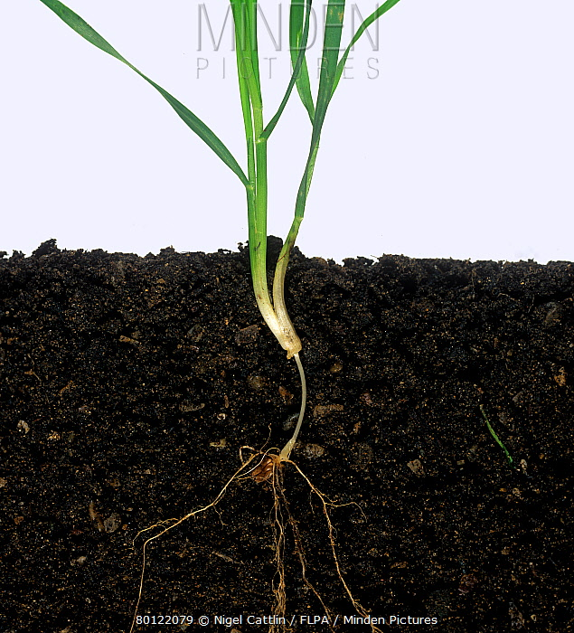 Wheat plant growth stage with long sub-crown internode  -  Nigel Cattlin/ FLPA