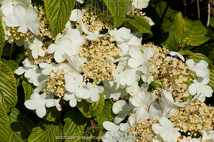 Minden pictures stock photos japanese snowball bush viburnum japanese snowball bush viburnum plicatum white sterile flowers on garden shrub nigel cattlin mightylinksfo