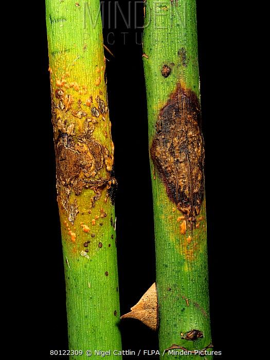 Stem rust (Kuehneola uredinis) on a blackberry stem (Rubus fructicosus)  -  Nigel Cattlin/ FLPA