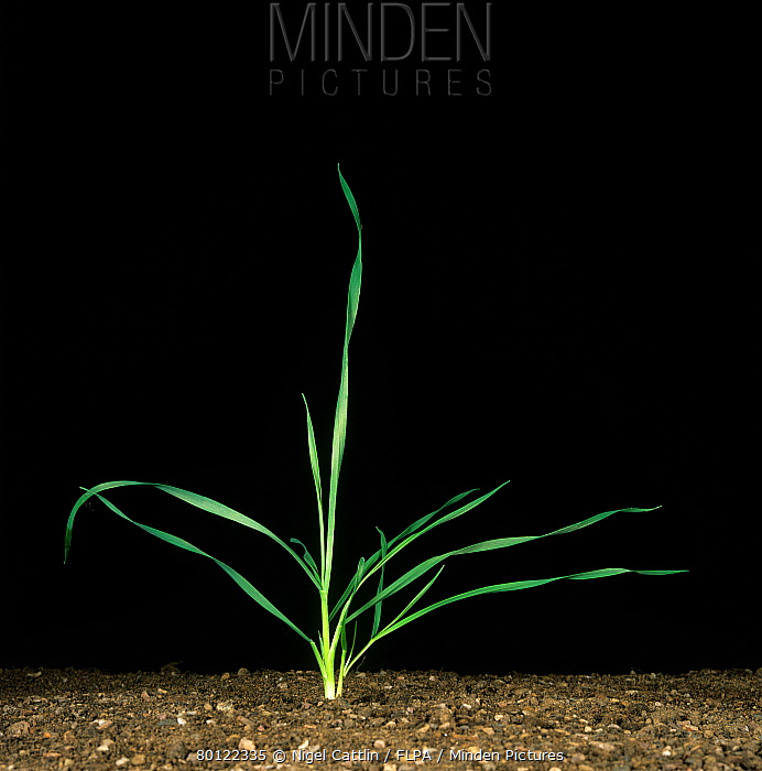Wheat seedling with two early tillers at stage  -  Nigel Cattlin/ FLPA