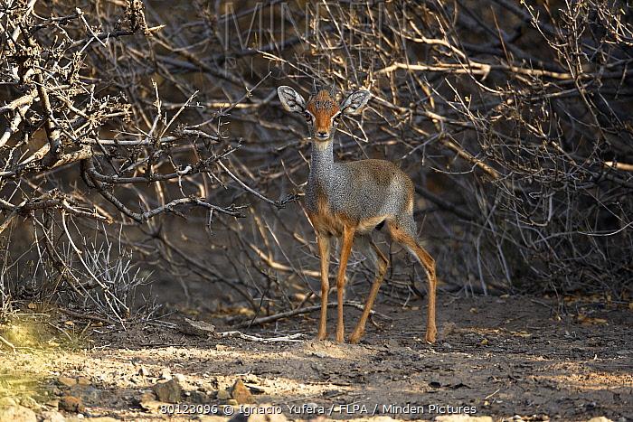 Salt's Dik-dik (Madoqua saltiana) adult male, standing in scrub, Awash Region, Ethiopia  -  Ignacio Yufera/ FLPA