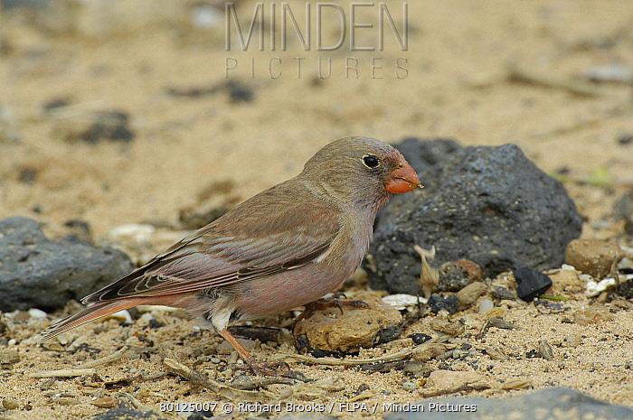 Trumpeter Finch (Rhodopechys githaginea amantum) adult male, foraging on beach, Fuerteventura, Canary Islands, march  -  Richard Brooks/ FLPA