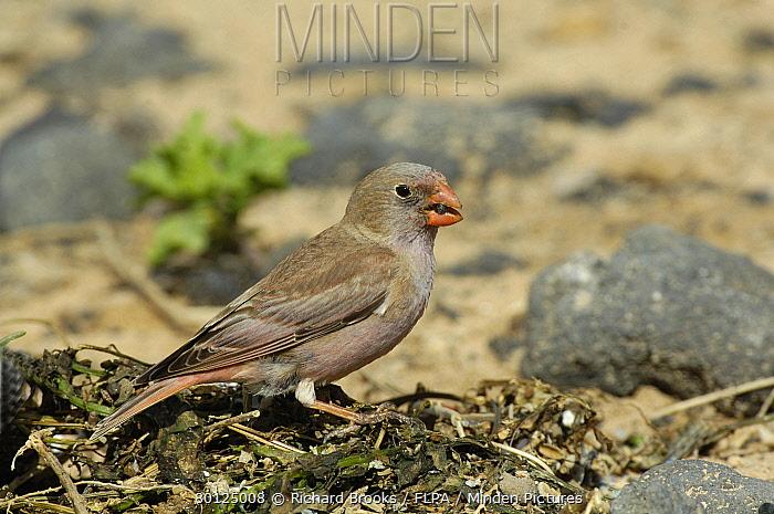 Trumpeter Finch (Rhodopechys githaginea amantum) adult male, feeding on beach, Fuerteventura, Canary Islands, march  -  Richard Brooks/ FLPA