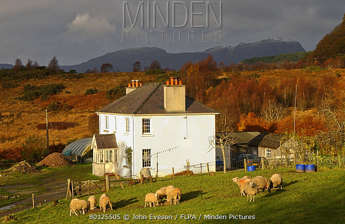 View of croft with sheep in pasture at evening, Achmore, Stromeferry, Ross-Shire, Scotland, november  -  John Eveson/ FLPA