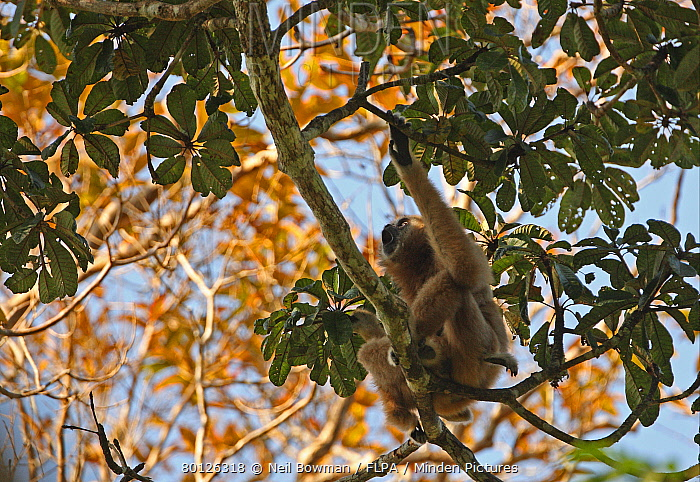 Common Gibbon (Hylobates lar) adult female with young, calling, sitting in tree, Kaeng Krachan National Park, Thailand, february  -  Neil Bowman/ FLPA