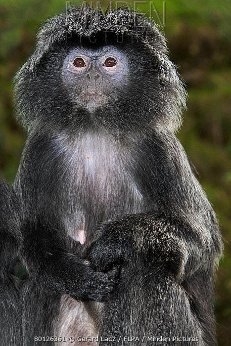 Javan Langur (Trachypithecus auratus) adult female, sitting (captive)  -  Gerard Lacz/ FLPA