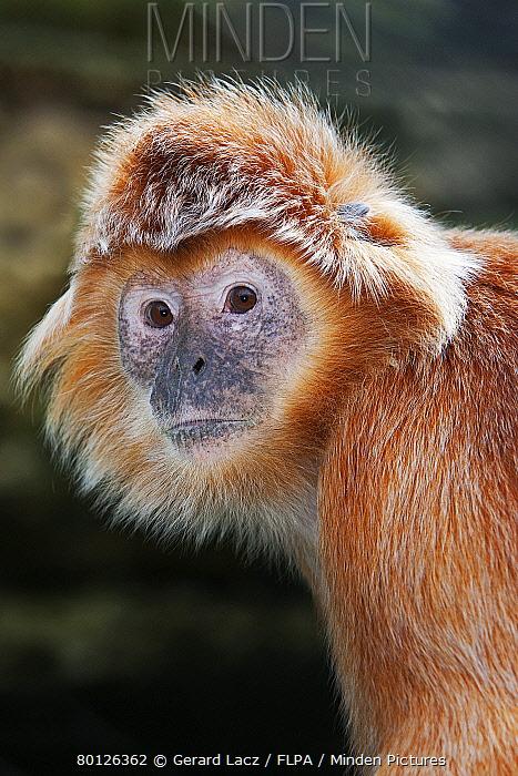 Javan Langur (Trachypithecus auratus auratus) golden colour form, adult, close-up of head (captive)  -  Gerard Lacz/ FLPA